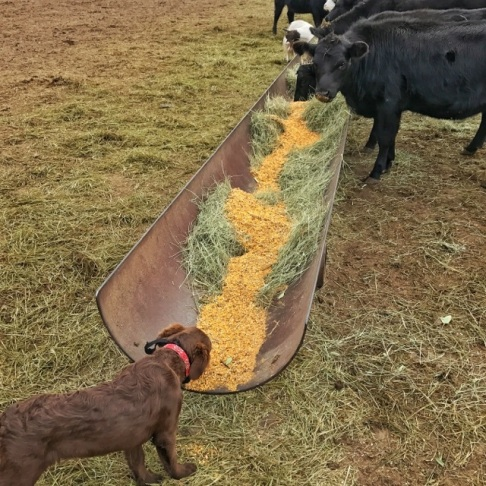 Abby-dog may be confused, eating cracked corn with the calves for breakfast.
